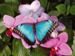 papillon-image-300x225