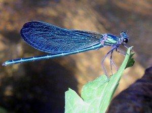 La libellule dans Guides spirituels Libellule-300x224