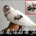 Tourterelle colombe marquée