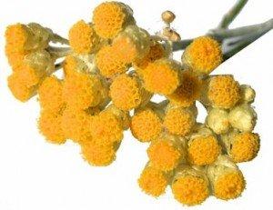 L'Immortelle dans Plantes aromatiques et medicinales immortelle-300x231