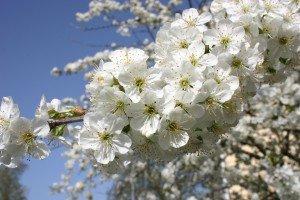 fleur blanche comme neige ...